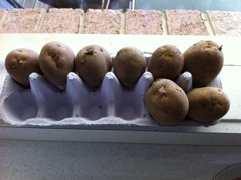 My seed potatoes on the window sill chitting.