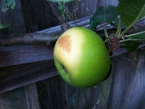 A scorched apple on one of my espaliered fruit trees